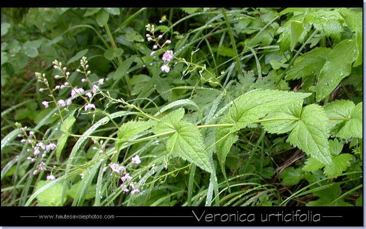 photo véronique à feuilles d'ortie