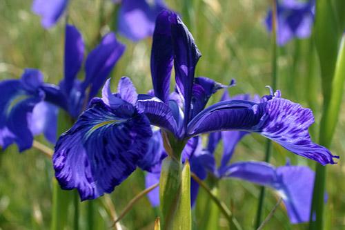 photo iris des pyrénées
