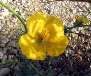 Glaucière jaune