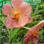 Orchidée des rochers