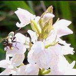 Orchis des bruyères