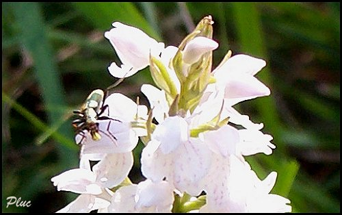 photo orchis des bruyères