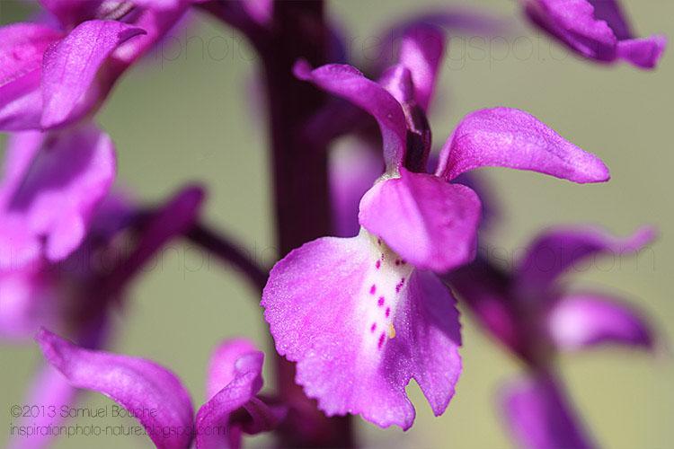 photo orchis mâle