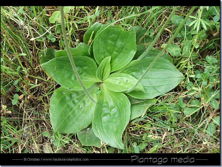 photo plantain intermédiaire