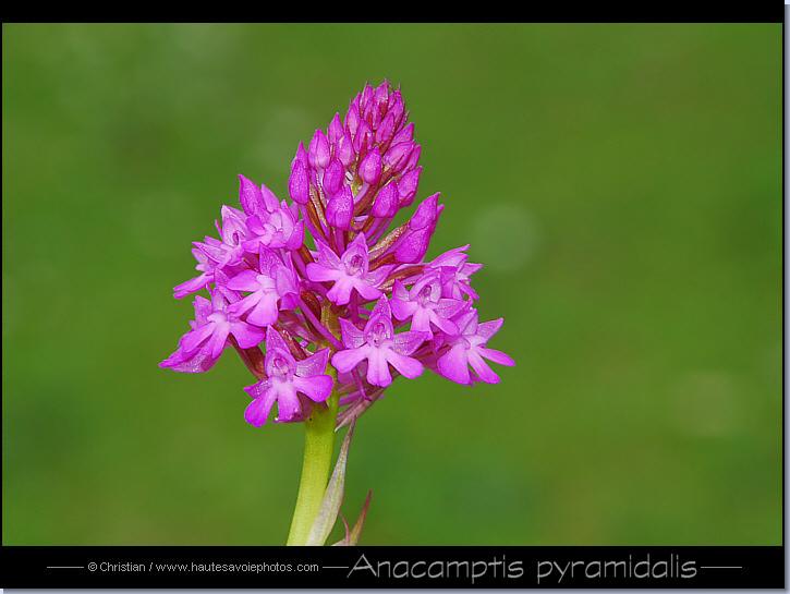 photo orchis pyramidal