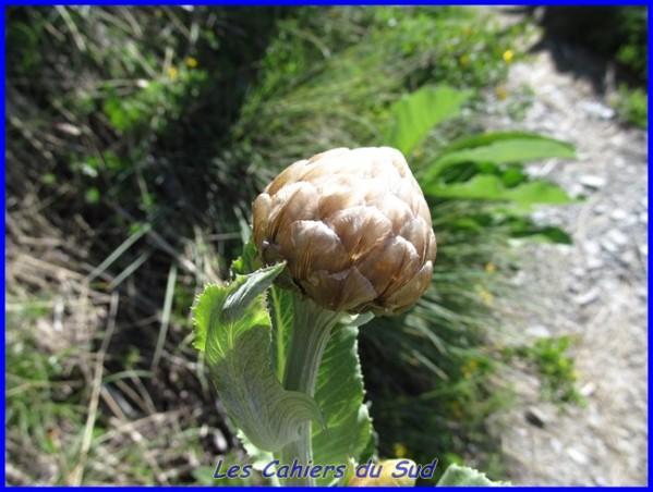 photo rhapontique à feuilles d'aunée