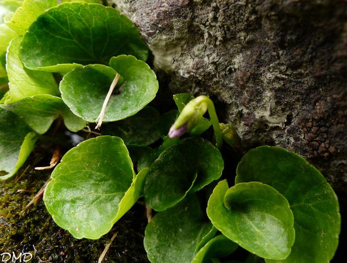 photo violette des marais