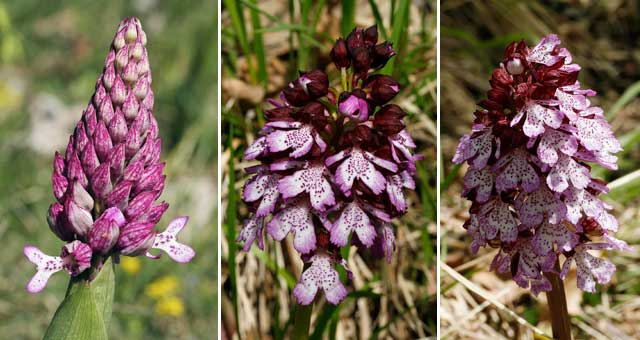photo orchis pourpre
