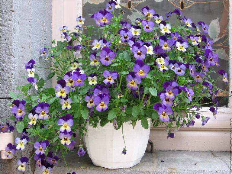 photo pensée à deux fleurs