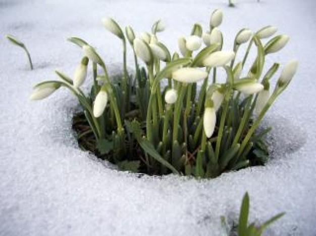 Fleur Perce Neige 2