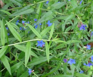 Grémil a fleurs variées