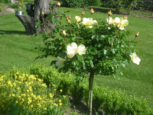 photo rosier pimprenelle